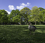 Greylag Goose at lake Alster, Anser anser