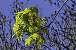 flowering Maple tree, Acer sp.