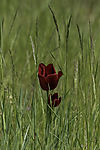 red Tulip in Grass