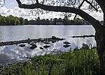Mute Swans sleeping on lake Alster, Cygnus olor