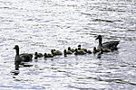 Greylag Geese family with twelve chicks, Anser anser