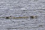 Greylag Geese family with ten chicks, Anser anser