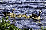 Greylag Geese family with nine chicks, Anser anser