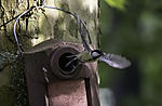 Great Tit flies out of nesting box, Parus major