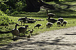 Greylag Geese families at lake Alster, Anser anser