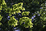 Oak tree leaves backlit, Quercus sp.