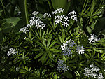 Sweet Wood Ruff in frontyard; Galium odoratum