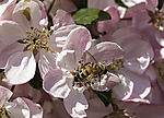 Honey Bee on Apple tree blossom, Apis mellifera