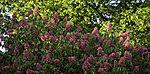 Blüten der Fleischroten Rosskastanie, Aesculus rubicunda