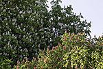 Horse Chestnut and Red Horse Chestnut,  Aesculus hippocastaneum, Aesculus rubicunda