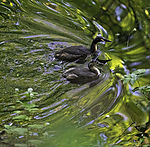 Great Crested Grebe and chick, Podiceps cristatus
