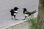 Magpies quarrel , Pica pica