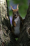 Eurasian Red Squirrel with Hazelnut eye contact, Sciurus vulgaris
