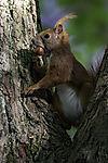 Eurasian Red Squirrel with Hazelnut, Sciurus vulgaris