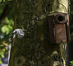 Great Tit befor nesting box, Parus major