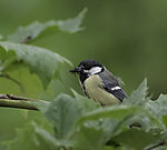 Great Tit with food for chicks, Parus major