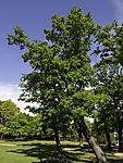 Oak tree, Quercus sp.
