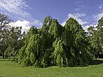 Weeping Beech, Fagus sylvatica f. pendula