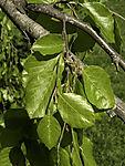 Weeping Beech leaves, Fagus sylvatica f. pendula