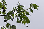 London Plane with seeds, Platanus acerifolia