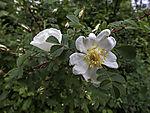 Burnet Rose blossom, Rosa spinosissima