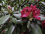 red blossoms on Rhododendron
