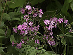 Red Campion; Silene dioica