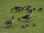Greylag Geese with chicks, Anser anser
