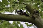 Great Spotted Woodpecker in Plane tree, Dendrocopus major