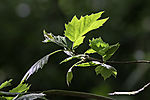 London Plane backlit, Platanus acerifolia