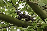 Eurasian Red Squirrel on tree, Sciurus vulgaris