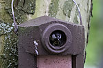 Great Tit and chick in nesting box, Parus major