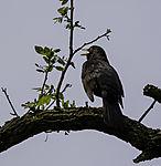 Blackbird singing, Turdus merula