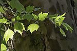 London Plane leaves, Platanus acerifolia