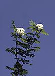 Rowan tree blossoms, Sorbus aucuparia