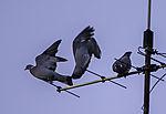 Wood Pigeons quarrel; Columba palumbus