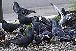 City Pigeons at feeding place; Columbidae