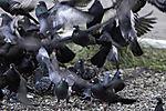 City Pigeons starting from feeding place; Columbidae