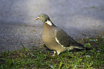 Wood Pigeon in morning light; Columba palumbus