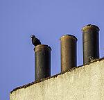 Blackbird singing on chimney, Turdus merula