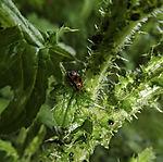 Ladybird on Thistle; Coccinellidae