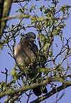Wood Pigeon on tree; Columba palumbus