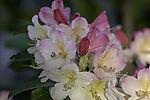 flowering Rhododdendron