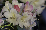 flowering Rhododendron