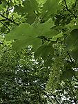 flowering Sycamore Maple, Acer pseudoplatanus