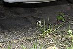 young Great Tit landing landing under parking car; Parus major