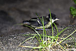 young Great Tit landing on ground; Parus major