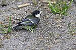 junge Kohlmeise landet auf dem Boden; Parus major