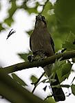 Eurasian Jay plucking young Great Tit, Garrulus glandarius, Parus major