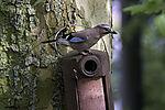Eurasian Jay on nesting box, Garrulus glandarius